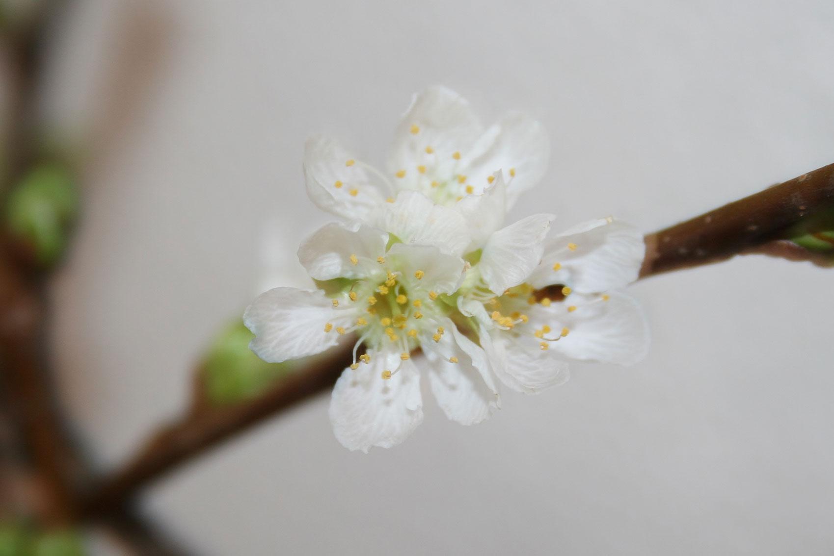Appel-bloesem