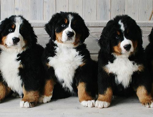 Berner Senners Puppies