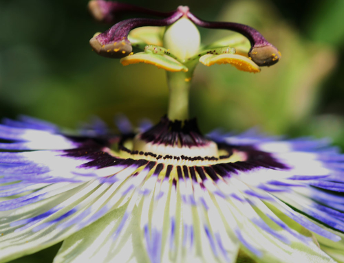 Passiflora – Passie bloem