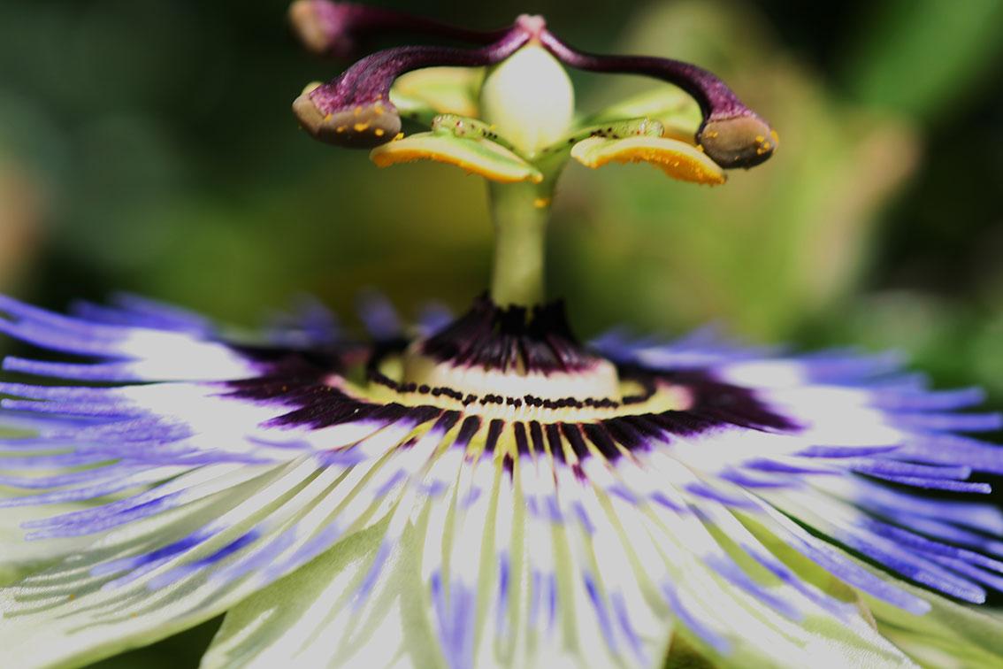 Passie-Flora-2
