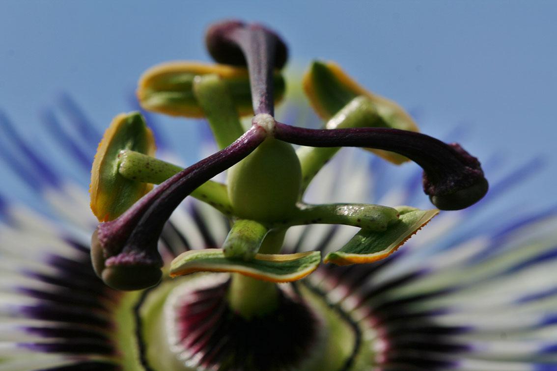 Passie-Flora-3
